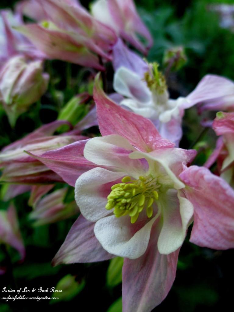 Pink Columbine http://ourfairfieldhomeandgarden.com/may-garden-birdhouses-flowers/