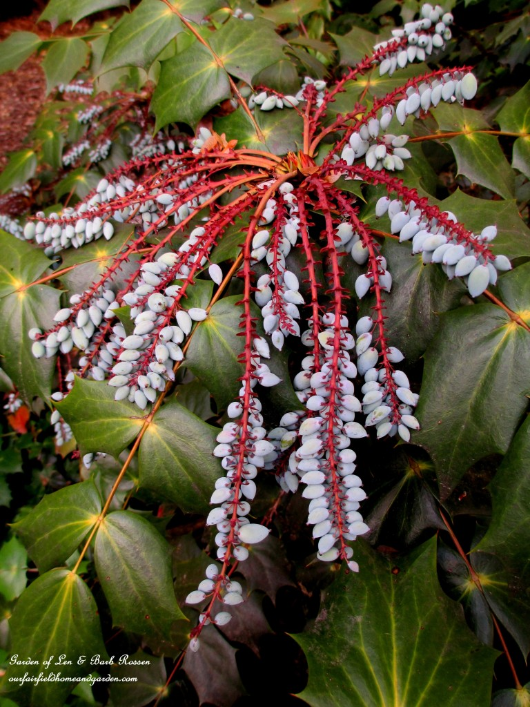 Mahonia berries for the birds https://ourfairfieldhomeandgarden.com/may-garden-birdhouses-flowers/