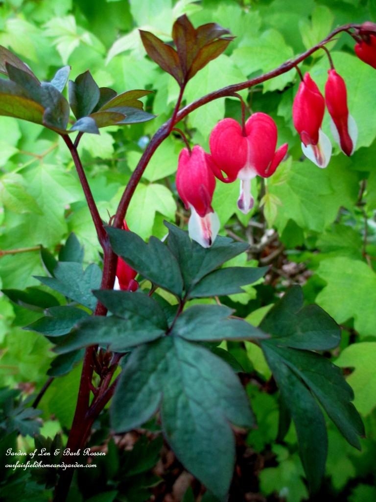 "Bleeding Heart ""Valentine"" http://ourfairfieldhomeandgarden.com/may-garden-birdhouses-flowers/"