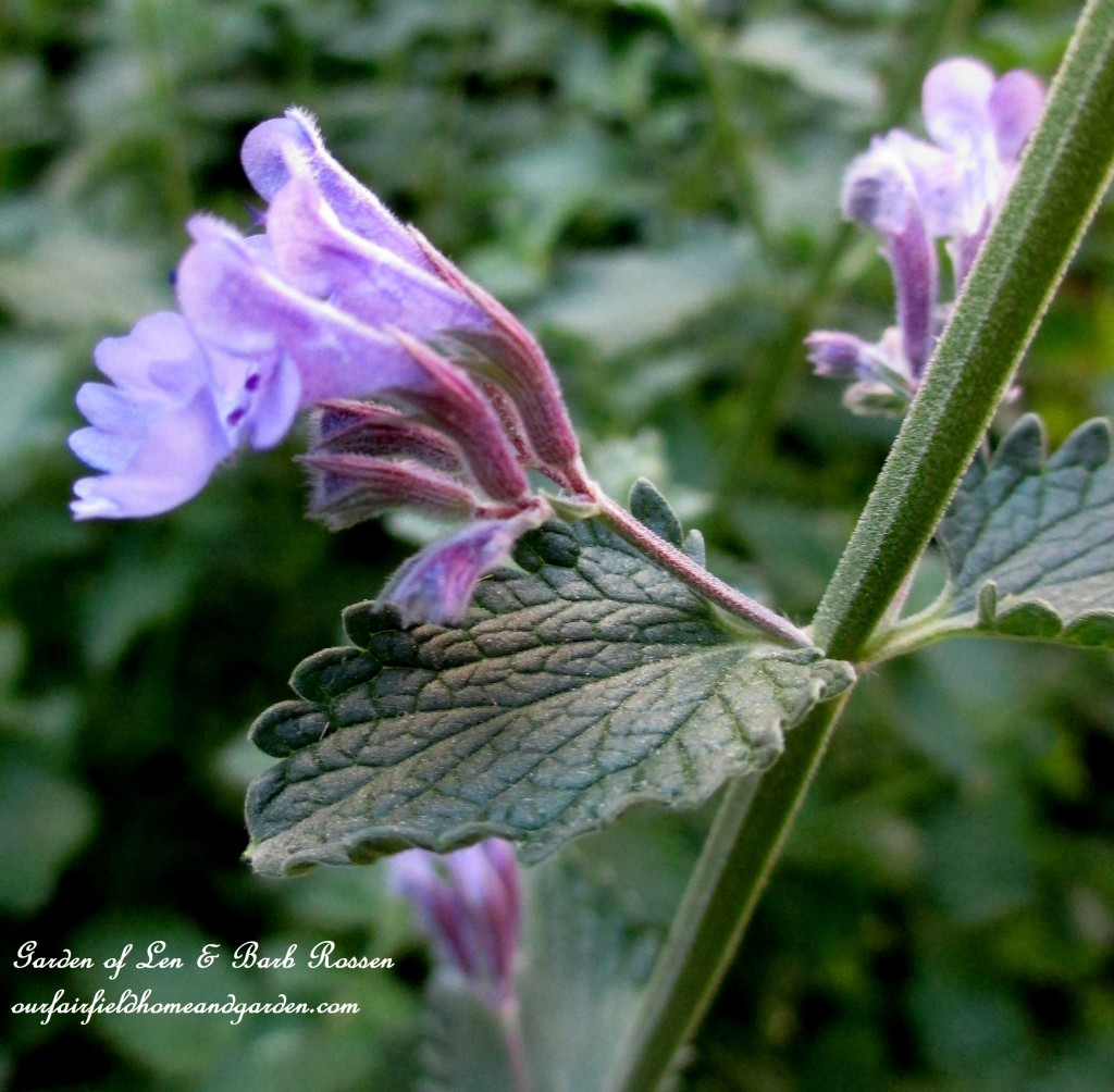Catmint ~ Nepata https://ourfairfieldhomeandgarden.com/may-garden-birdhouses-flowers/