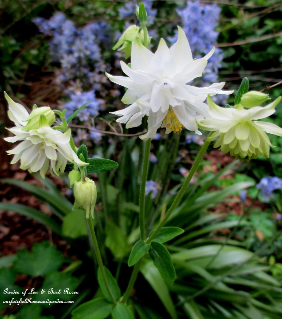 White Double Columbine https://ourfairfieldhomeandgarden.com/may-garden-birdhouses-flowers/