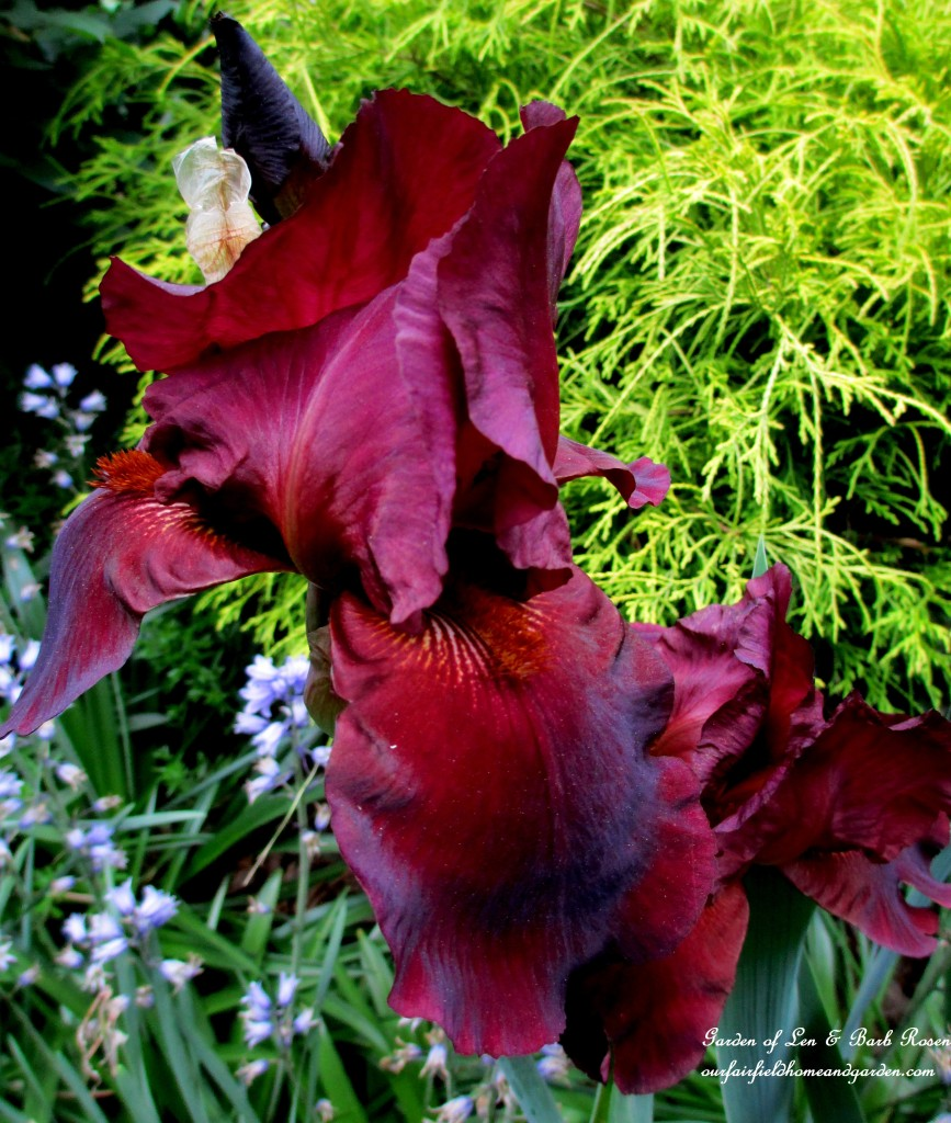 Dad's dark burgundy iris http://ourfairfieldhomeandgarden.com/may-garden-birdhouses-flowers/