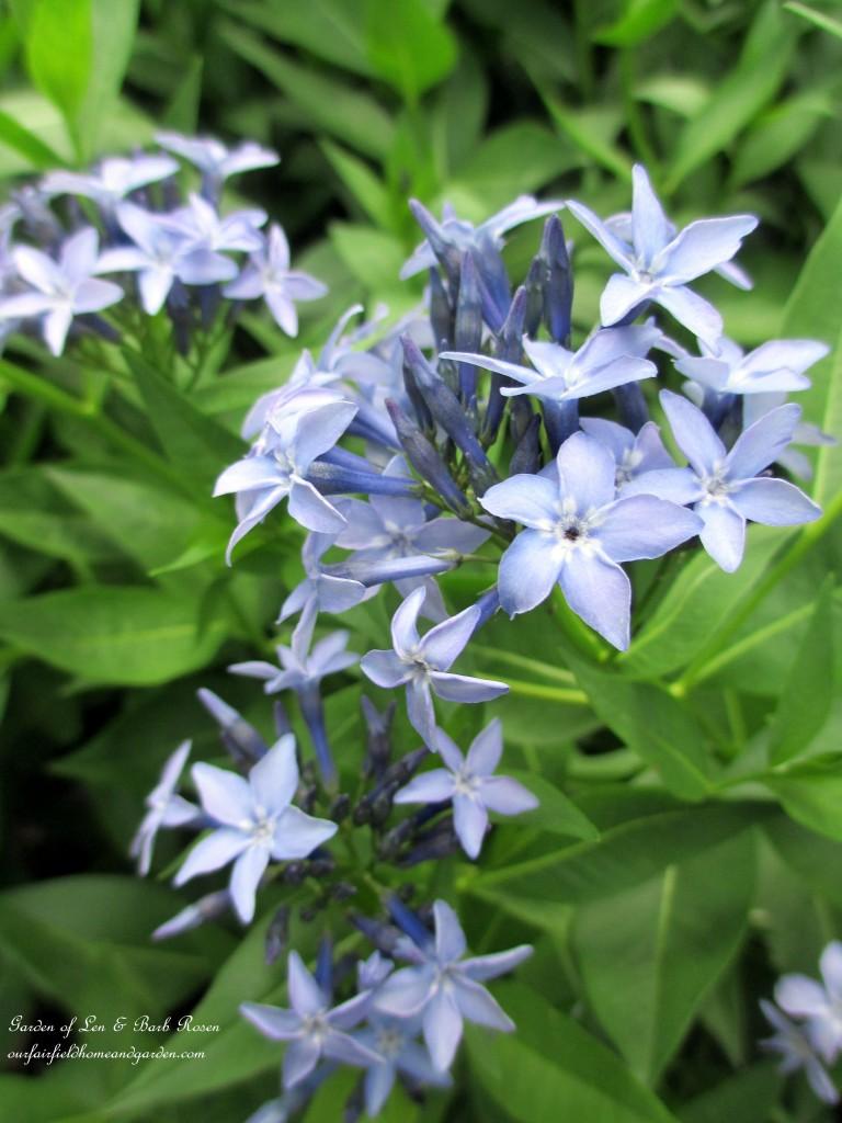 Amsonia Bluestar http://ourfairfieldhomeandgarden.com/garden-walk-june-1st/