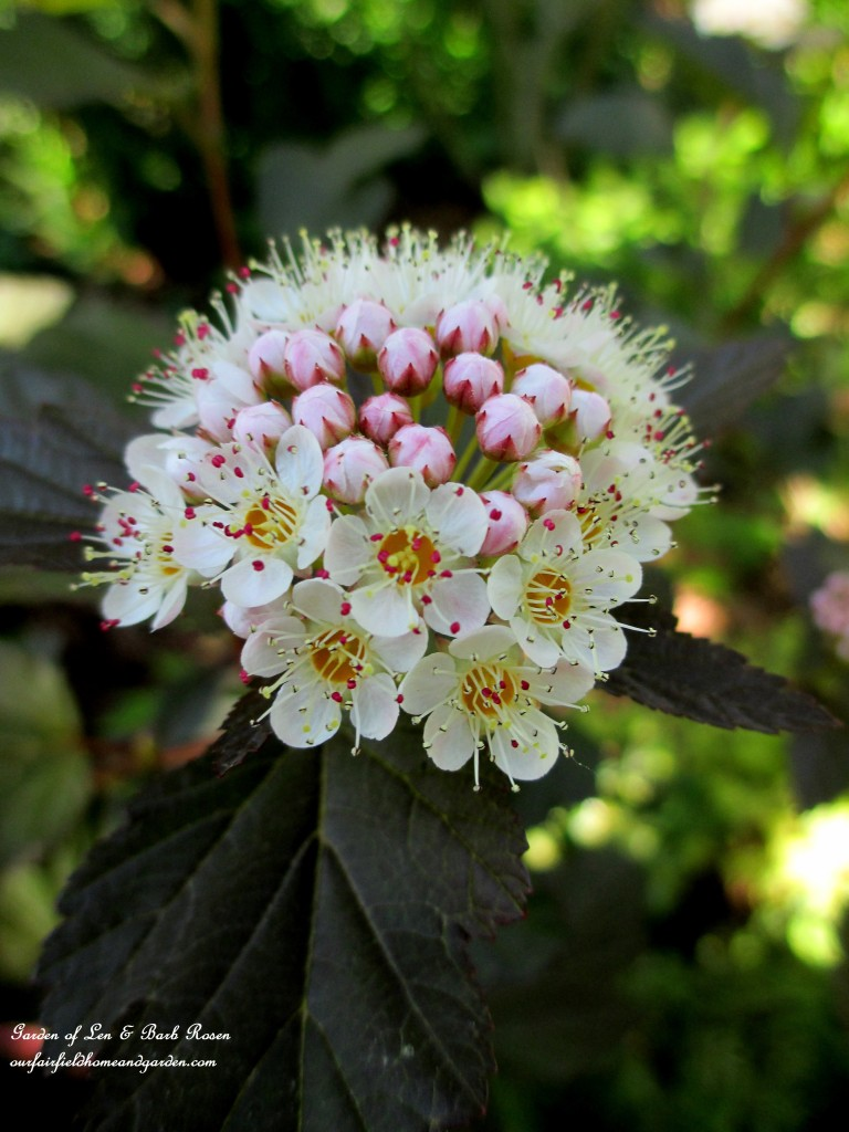 "Ninebark ""Coppertina""  Shrub bloom http://ourfairfieldhomeandgarden.com/garden-walk-june-1st/"