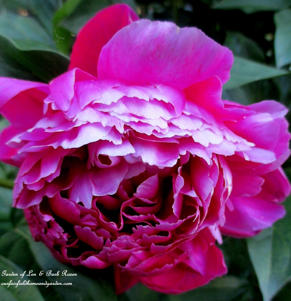 Peony from a friend ~ the best cultivar! https://ourfairfieldhomeandgarden.com/garden-walk-june-1st/
