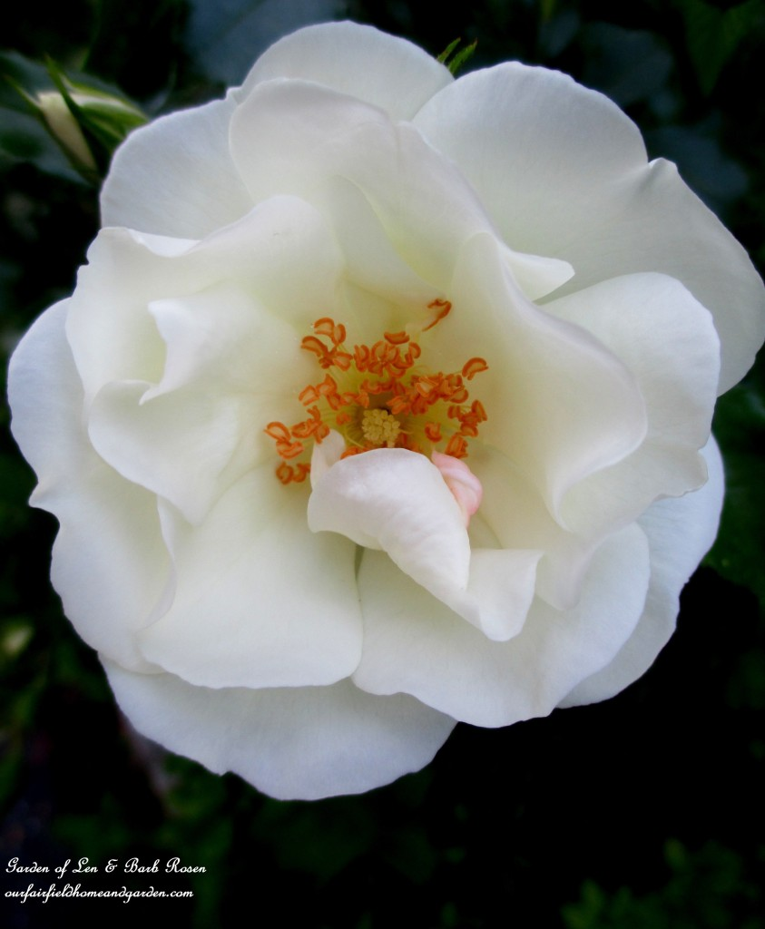 Shrub Rose http://ourfairfieldhomeandgarden.com/garden-walk-june-1st/