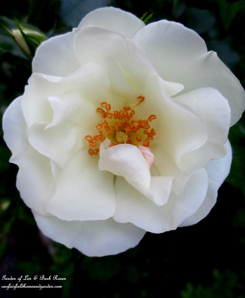 Shrub Rose https://ourfairfieldhomeandgarden.com/garden-walk-june-1st/