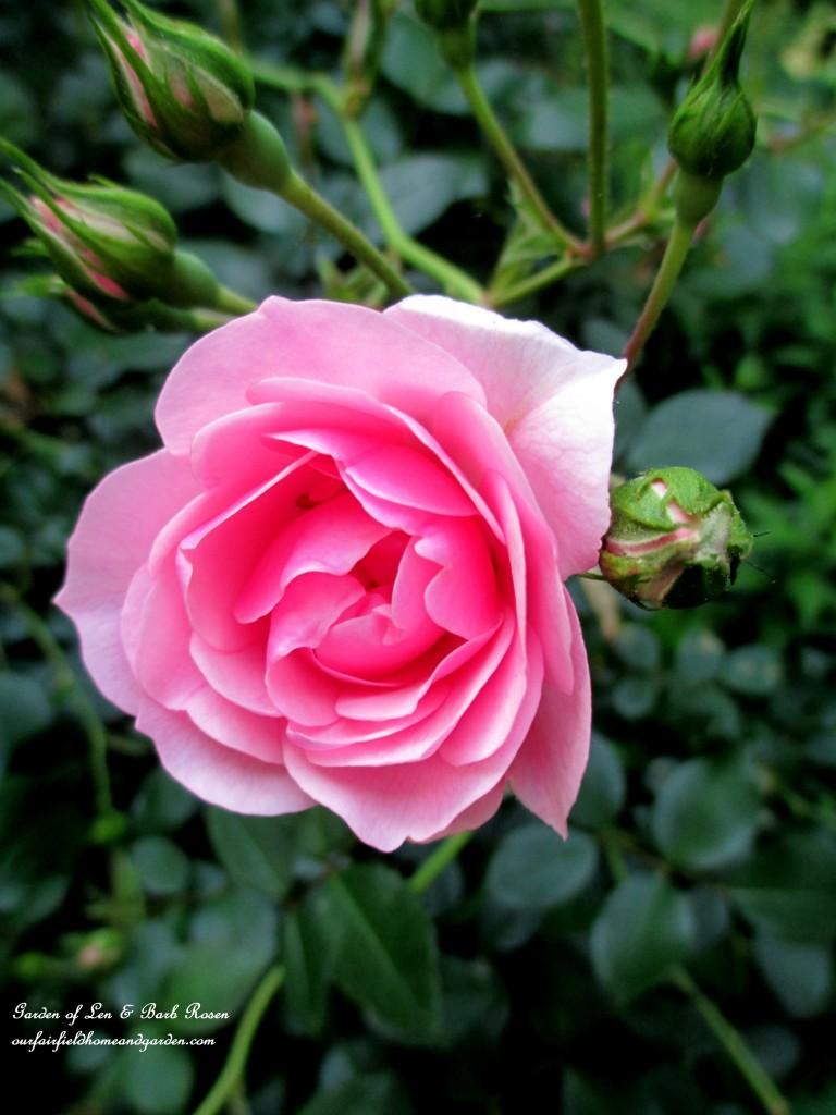 Fairy Rose http://ourfairfieldhomeandgarden.com/garden-walk-june-1st/