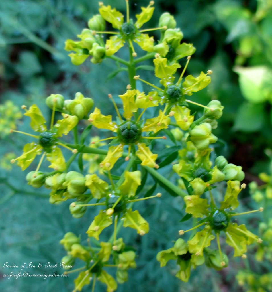 Rue ~ herb with bluish leaves https://ourfairfieldhomeandgarden.com/garden-walk-june-1st/