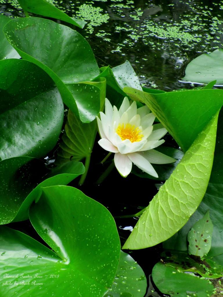 Water Lily http://ourfairfieldhomeandgarden.com/newark-garden-tour-2013/