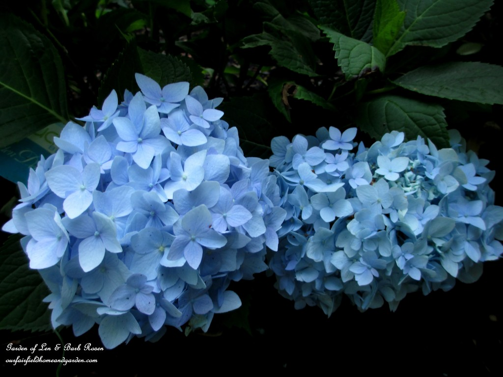 "hydrangea macrophylla ""Nantucket Blue"""