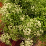 Queen Anne's Lace http://ourfairfieldhomeandgarden.com/diy-project-country-flower-basket/