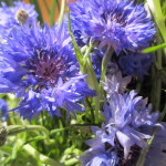 Cornflower http://ourfairfieldhomeandgarden.com/diy-project-country-flower-basket/