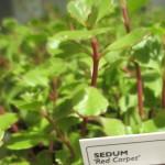 """sedum """"Red Carpet"""""""