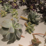 callused tender succulent cuttings