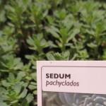 sedum pachyclados