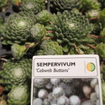 "sempervivum ""Cobweb Buttons"""