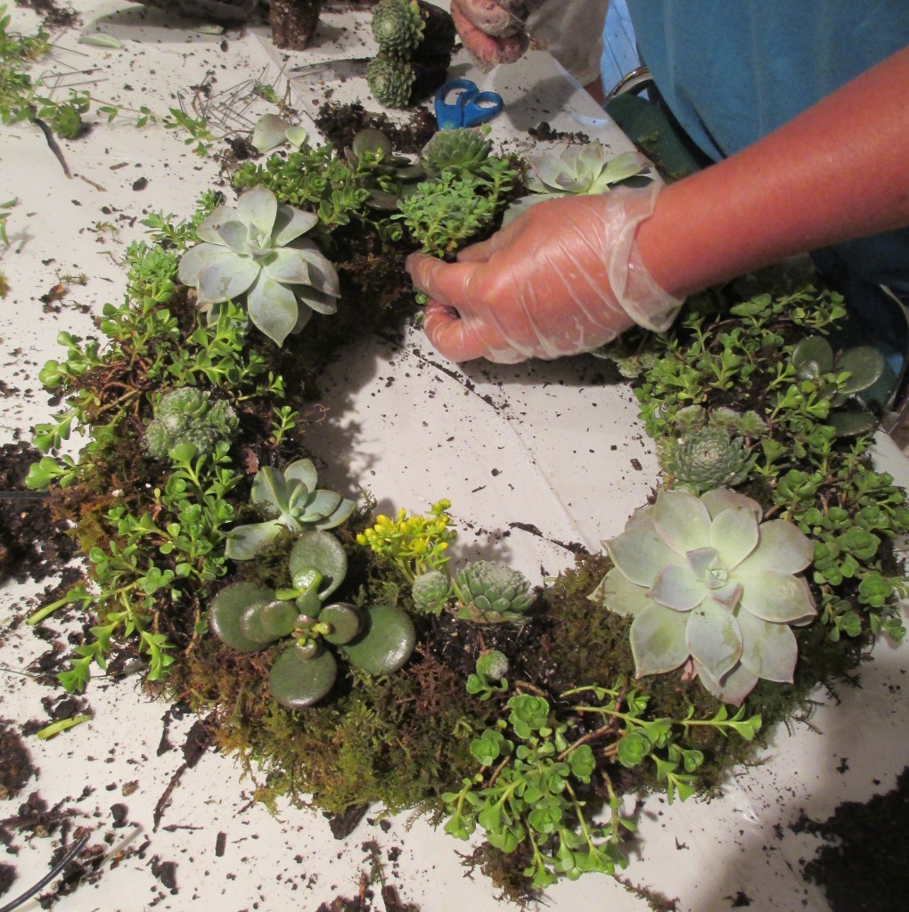 Step 5 ~ poke holes in the sheet moss and insert succulents. Floral pins can be used to help anchor the plants.