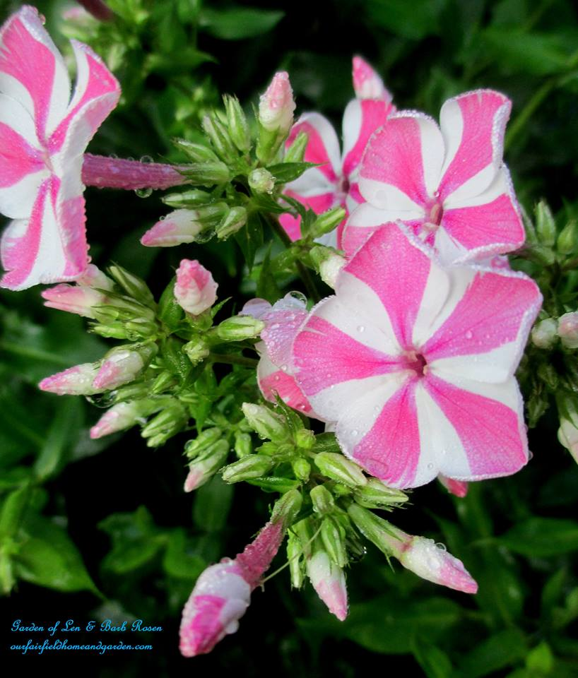 "Phlox ""Peppermint Twist"""