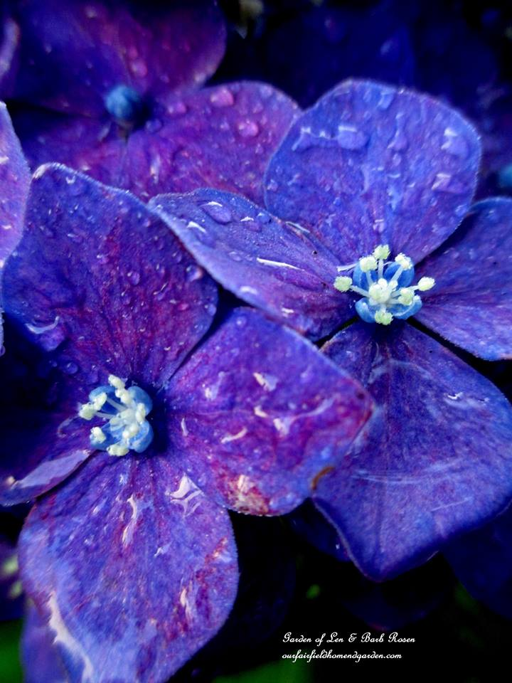 Hydrangea Blossom close-up