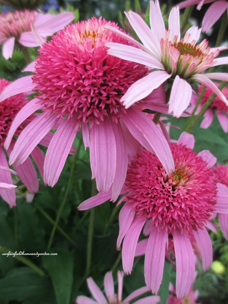 """Echinacea """"Double Pink"""""""