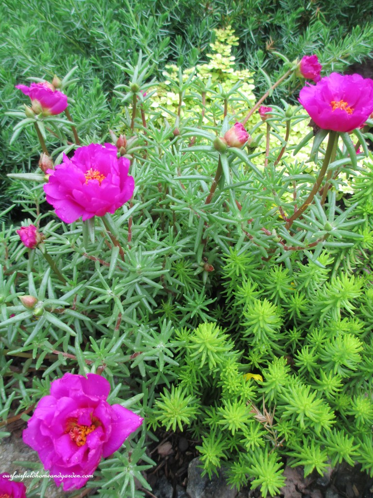 sedums and portulaca