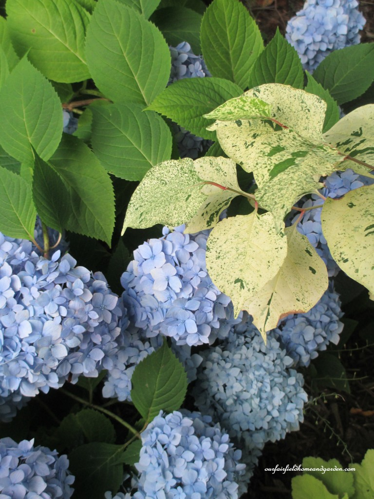 hydrangea and variegated knotweed