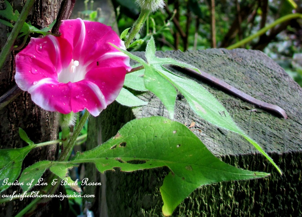 striped morning glory vine
