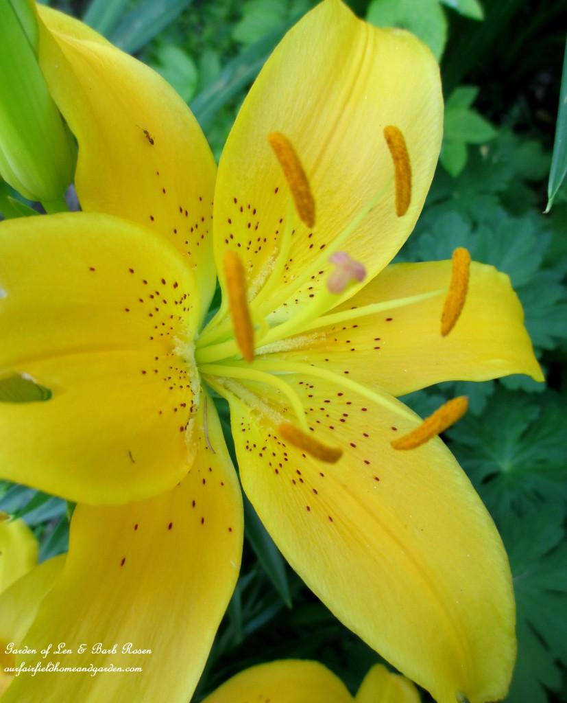 Yellow Asiatic Lily https://ourfairfieldhomeandgarden.com/garden-walk-july-1st/