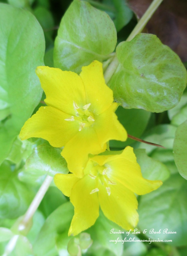 Creeping Jenny groundcover in bloom https://ourfairfieldhomeandgarden.com/garden-walk-july-1st/