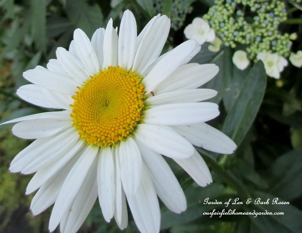"Shasta Daisy ""Becky"" http://ourfairfieldhomeandgarden.com/garden-walk-july-1st/"