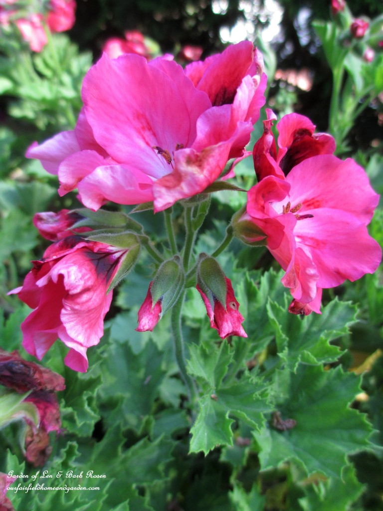"Geranium ""Martha Washington"" http://ourfairfieldhomeandgarden.com/garden-walk-july-1st/"