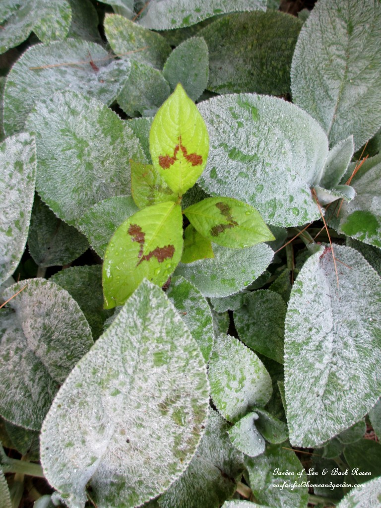 Persicaria in the Lamb's Ear http://ourfairfieldhomeandgarden.com/garden-walk-july-1st/