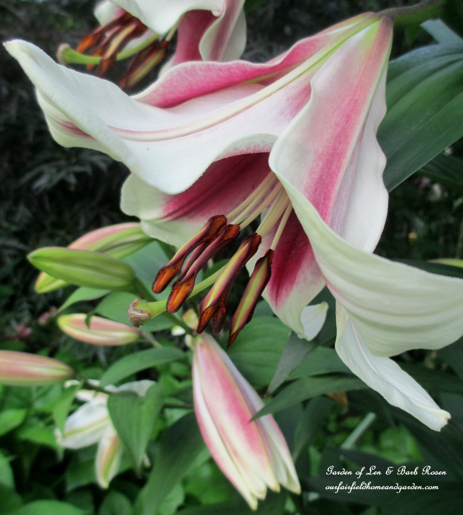 "Orienpet ""Friso"" Lilies http://ourfairfieldhomeandgarden.com/garden-walk-july-1st/"
