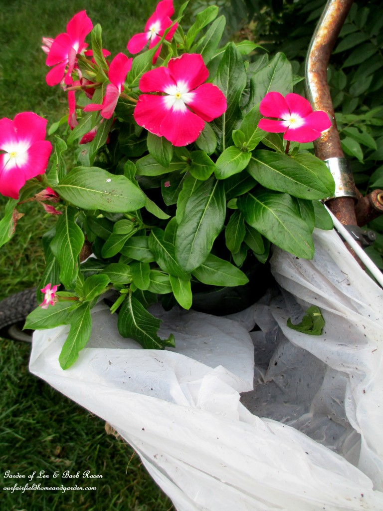Line the baskets with plastic grocery bags to hold moisture in for the plantings. Tuck in the plants of your choice. http://ourfairfieldhomeandgarden.com/diy-project-my-bicycle-planter/