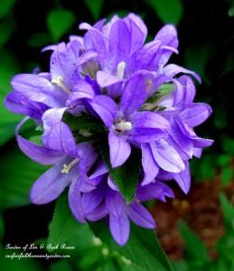 Campanula Glomerata https://ourfairfieldhomeandgarden.com/garden-walk-my-summer-garden/