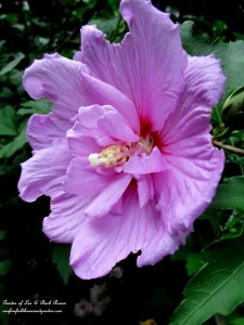 Rose of Sharon https://ourfairfieldhomeandgarden.com/garden-walk-my-summer-garden/
