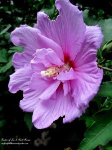 Rose of Sharon https://ourfairfieldhomeandgarden.com/garden-walk-my-summer-garden/