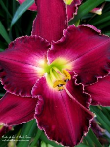 Day Lily http://ourfairfieldhomeandgarden.com/garden-walk-my-summer-garden/