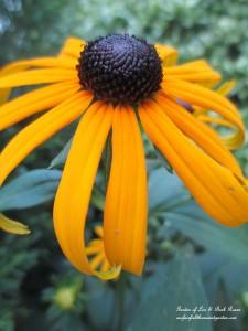Black-eyed Susan http://ourfairfieldhomeandgarden.com/garden-walk-my-summer-garden/