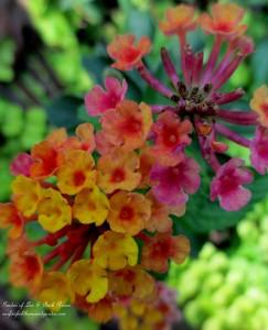 Lantana http://ourfairfieldhomeandgarden.com/garden-walk-my-summer-garden/