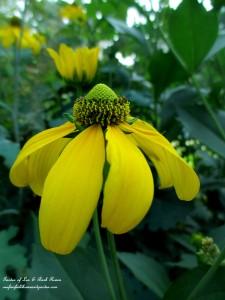 Rudbeckia Maxima http://ourfairfieldhomeandgarden.com/garden-walk-my-summer-garden/