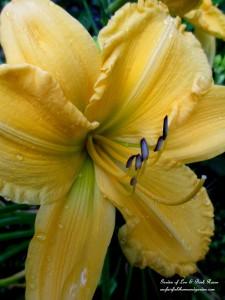 Yellow Daylily http://ourfairfieldhomeandgarden.com/garden-walk-my-summer-garden/