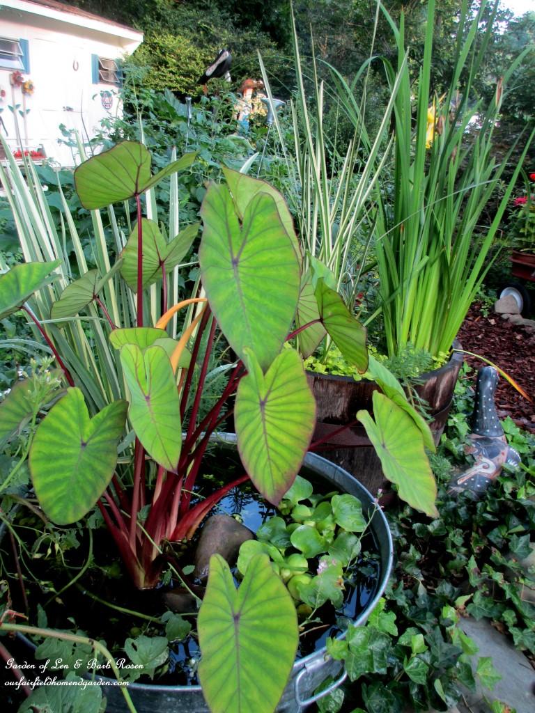 barrel & galvanized tub container water gardens https://ourfairfieldhomeandgarden.com/garden-walk-my-summer-garden/