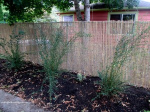 After  ~  more privacy and a nice backdrop for plantings! http://ourfairfieldhomeandgarden.com/ddiy-beautify-a-chain-link-fence-with-bamboo/
