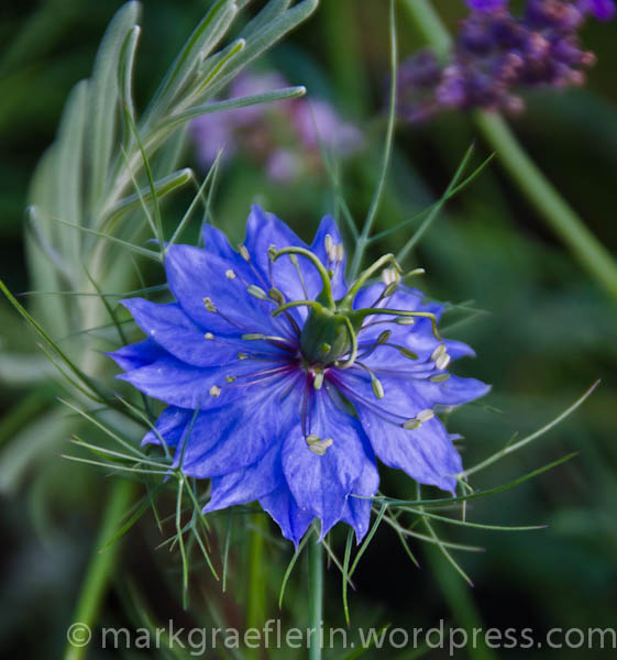 Gorgeous nigella