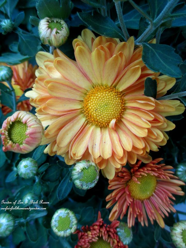 Fall Mums http://ourfairfieldhomeandgarden.com/garden-walk-early-fall-garden/