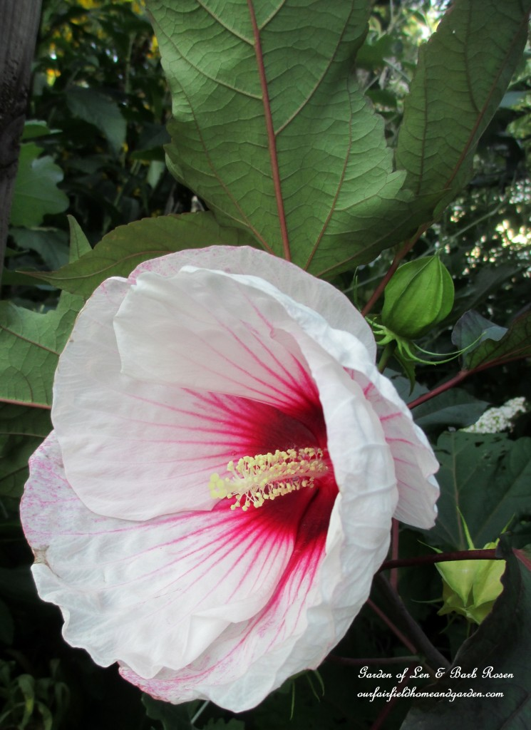 perennial Hibiscus https://ourfairfieldhomeandgarden.com/garden-walk-early-fall-garden/