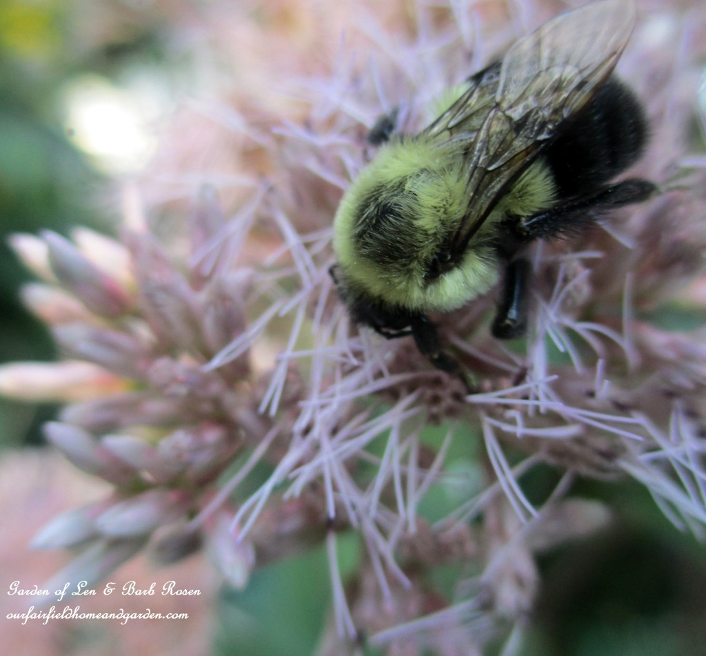 Joe Pye Weed ~ loved by the bees https://ourfairfieldhomeandgarden.com/garden-walk-early-fall-garden/