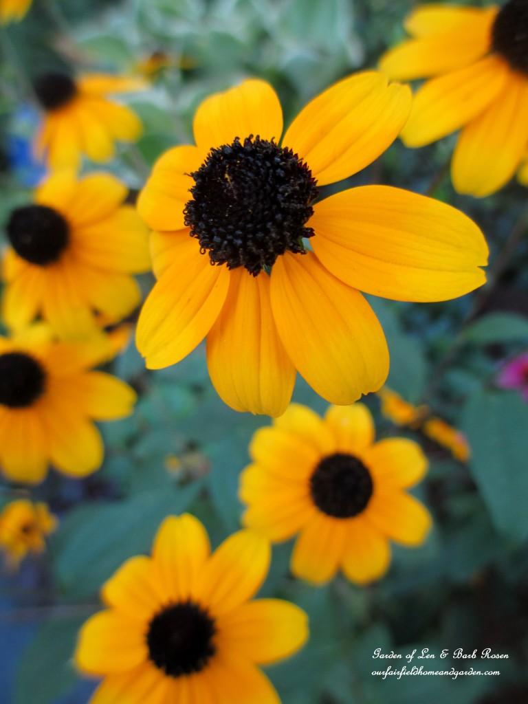 Rudbeckia Trilobia http://ourfairfieldhomeandgarden.com/garden-walk-early-fall-garden/